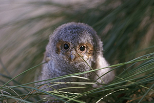 https://www.maxpixel.net/Portrait-Flammulated-Owl-Nestling-Wildlife-Nature-890638