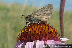 Photo of Dakota Skipper butterfly